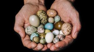 Bird eggs in hands of curator